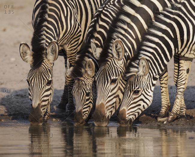 Grant's Zebra (Equus quagga boehmi) four drinking at waterhole. Mana Pools National Park, Zimbabwe. October 2012.