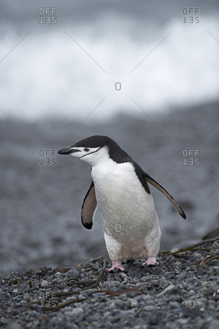 Chinstrap penguin (Pygoscelis antarcticus) standing on beach. Holmestrand, South Georgia. January.