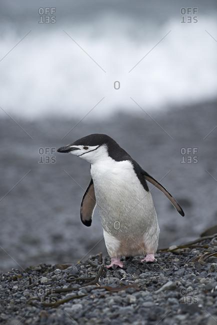 Chinstrap penguin (Pygoscelis antarcticus) standing on beach. Holmestrand, South Georgia. January.