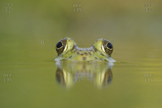 Head portrait of Bullfrog (Rana catesbeiana) partially submerged in lake, Fennessey Ranch, Refugio, Coastal Bend, Texas Coast, USA.