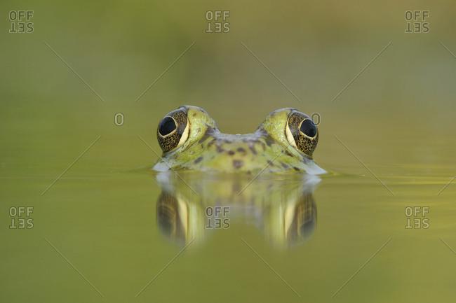 Head portrait of Bullfrog (Rana catesbeiana) partially submerged in lake, Fennessey Ranch, Refugio, Coastal Bend, Texas Coast, USA.