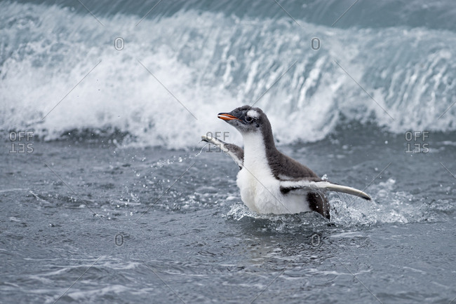 Gentoo penguin (Pygoscelis papua) chick in surf. Holmestrand, South Georgia. January.