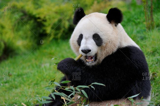 Giant panda (Ailuropoda melanoleuca)  eating bamboo at Beauval zoo,  France.