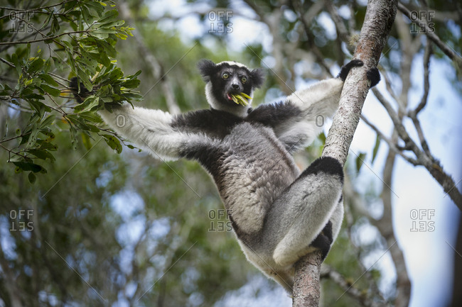 Adult Indri (Indri indri) feeding in rainforest canopy. Andasibe-Mantadia National Park, East Madagascar. Endangered.