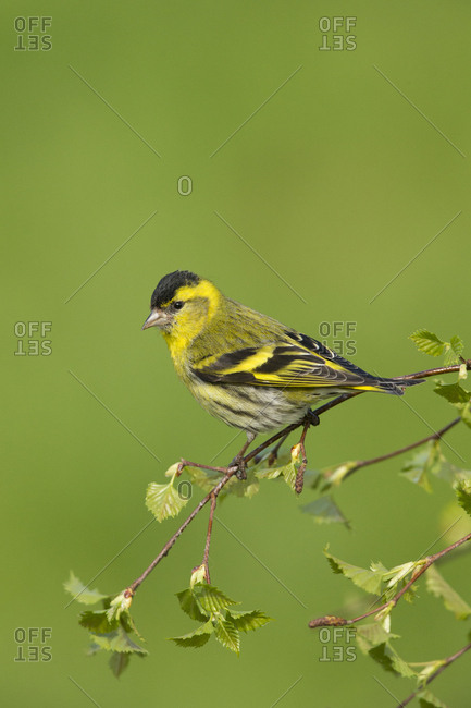 Siskin (Carduelis spinus) male perched on birch sprig in spring. Scotland, UK, May.