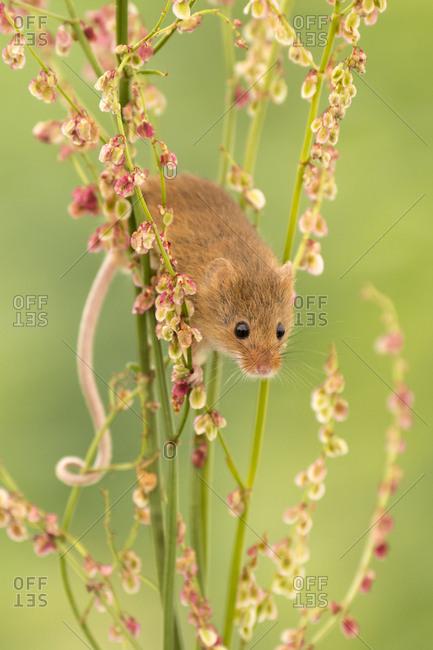 Harvest mouse (Micromys minutus) feeding on common sorrel (Rumex acetosa), Devon, UK (Captive). May.