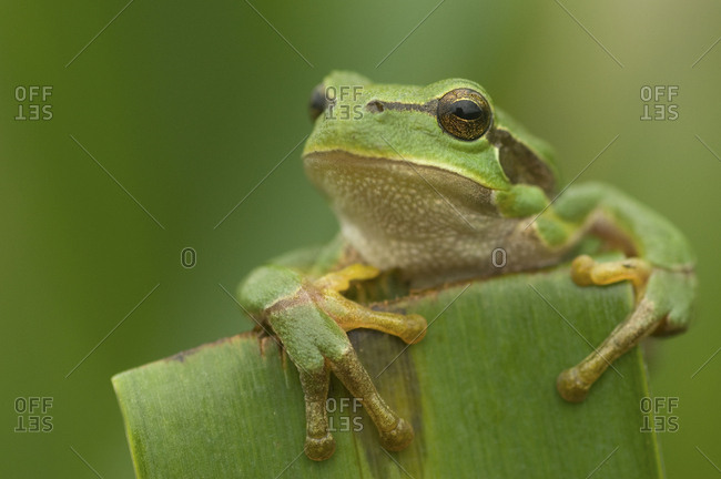 Common tree frog (Hyla arborea) head portrait, the Netherlands.