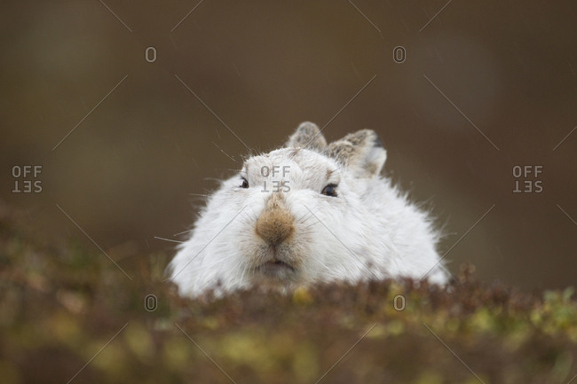 Mountain hare (Lepus timidus) hunkered down in winter pelage, Scotland, UK