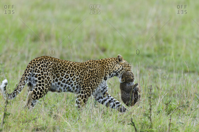 Leopard (Panthera pardus) female carrying her cub aged 1 month, Masai-Mara Game Reserve, Kenya.