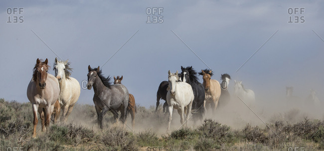 Two wild Mustang horse families running to waterhole, Sand Wash Basin, Colorado, USA. June.