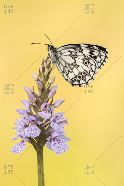 Marbled White butterfly (Melanargia galathea) resting on common spotted orchid, Dunsdon Nature Reserve, Devon, UK. July .