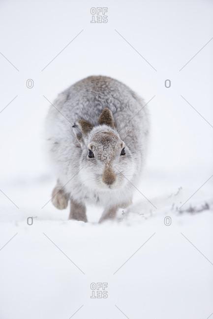 Mountain Hare (Lepus timidus) hopping towards camera, in snow. Scotland, UK. January.