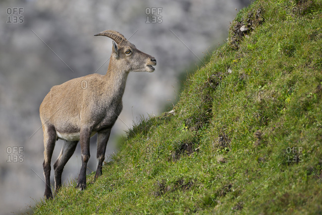 Female Alpine ibex (Capra ibex) feeding. Bernese Alps, Switzerland. August.
