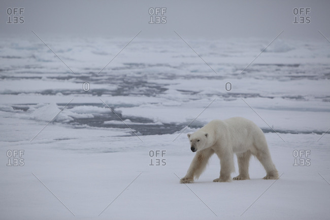 Polar bear (Ursus maritimus) on ice floe, Svalbard, Norway, September 2009. Endangered species.
