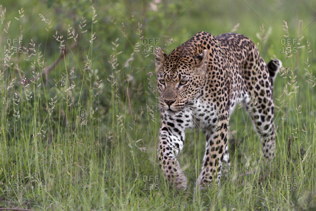 Leopard (Panthera pardus) stalking prey,  Londolozi Private Game Reserve, Sabi Sand Game Reserve, South Africa.