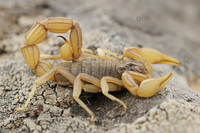 Yellow scorpion (Buthus occitanus). La Serena, Extremadura, Spain. March.