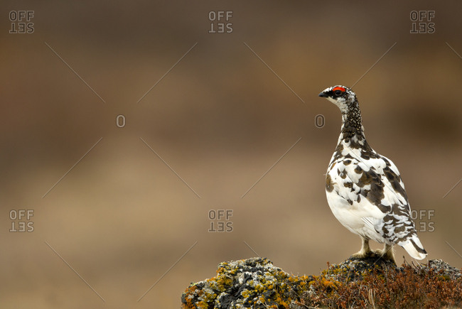 Ptarmigan (Lagopus muta) male. Iceland. June .