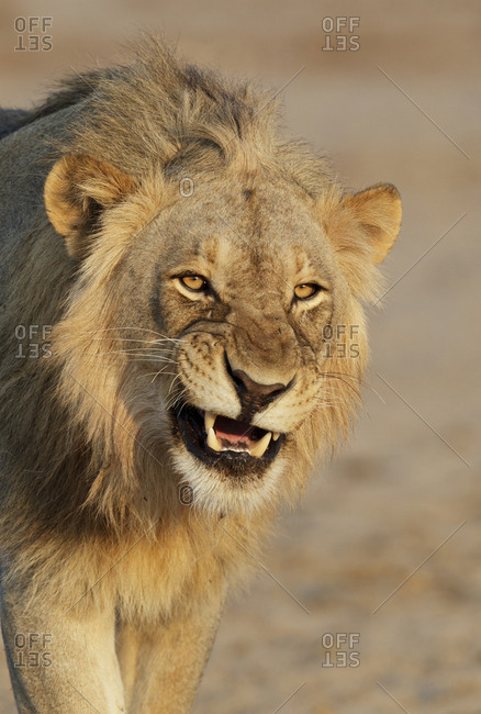 African lion (Panthera leo) young male snarling,Etosha National Park, Namibia. October.