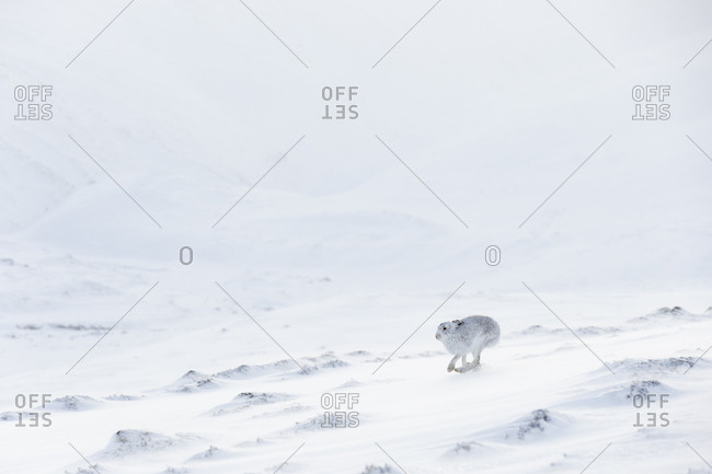 Mountain Hare (Lepus timidus) in white winter coat running across snow, Scotland. UK, January.