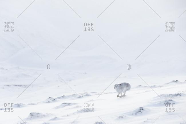 Mountain Hare (Lepus timidus) in white winter coat running across snow, Scotland. UK, January.