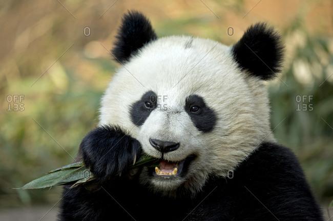 Giant Panda (Ailuropoda melanoleuca) sub adult feeding. Bifengxia, China. Captive.