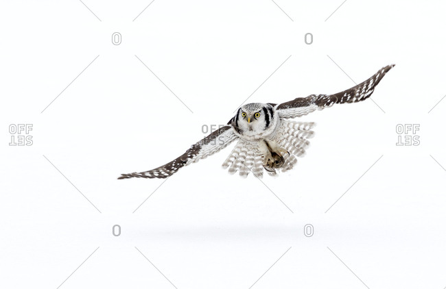 Hawk owl (Surnia ulula) in flight, Finland. March.