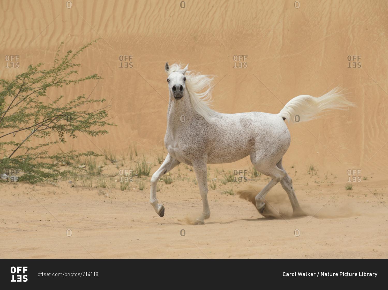 Grey Arabain Stallion Trotting In Desert Dunes Near Dubai United Arab Emirates Stock Photo Offset