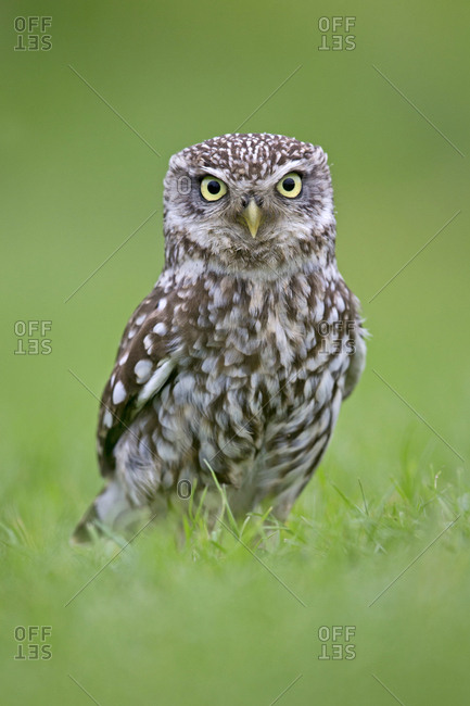 Little Owl (Athene noctua) standing on ground, UK, May.