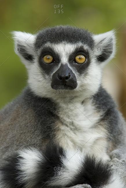 Ring-tailed Lemur portrait (Lemur catta), captive, Netherlands.