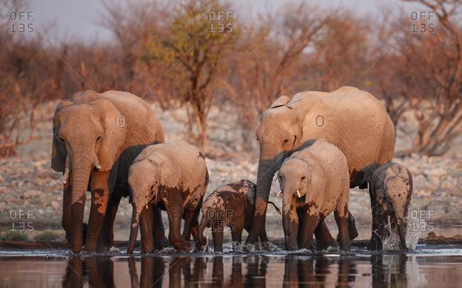 African elephants (Loxodonta africana) drinking at sunset. Etosha National Park, Namibia.