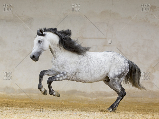 Dapple grey Andalusian stallion running in arena, Northern France, Europe.