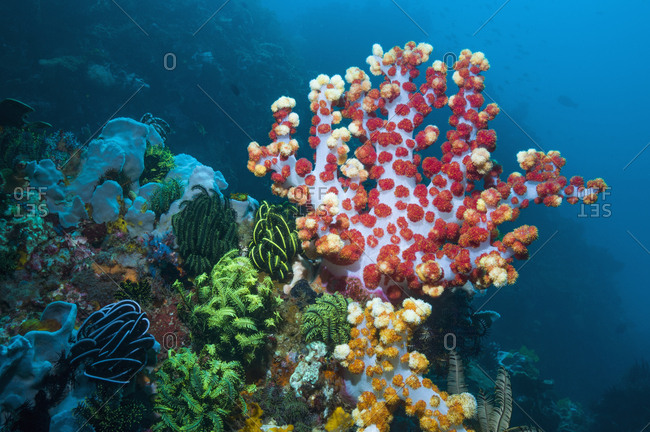 Soft coral (Dendronephthya sp.) feeding. Indonesia.