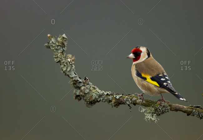 Goldfinch (Carduelis carduelis) perched on branch. Worcestershire, UK. January .