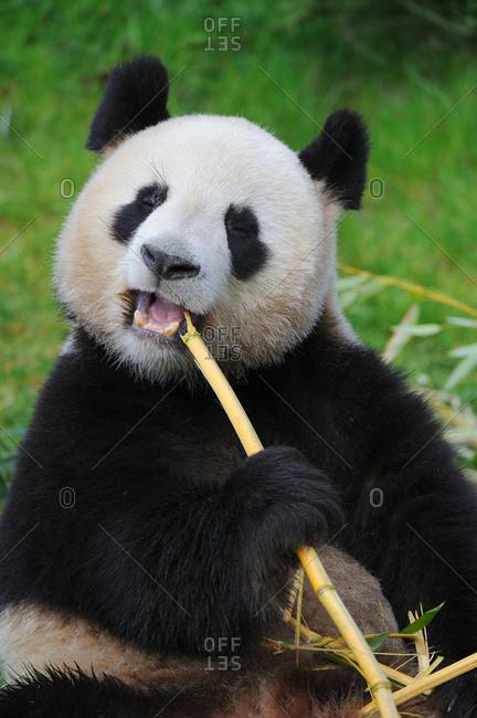 Giant panda (Ailuropoda melanoleuca) eating bamboo. Beauval zoo,  France.
