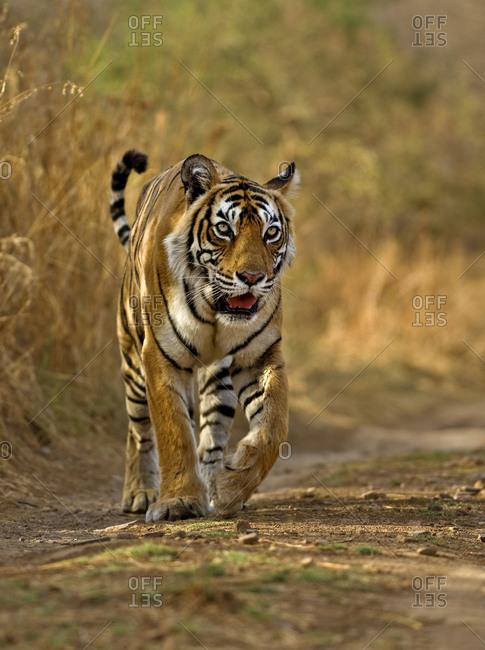 Bengal tiger (Panthera tigris tigris) female, Machali, Ranthambore National Park, Rajasthan, India. Endangered species.