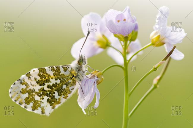 Orange Tip Butterfly (Anthocharis cardamines) female resting on Cuckooflower (Cardamine pratensis). North Devon, UK. April.
