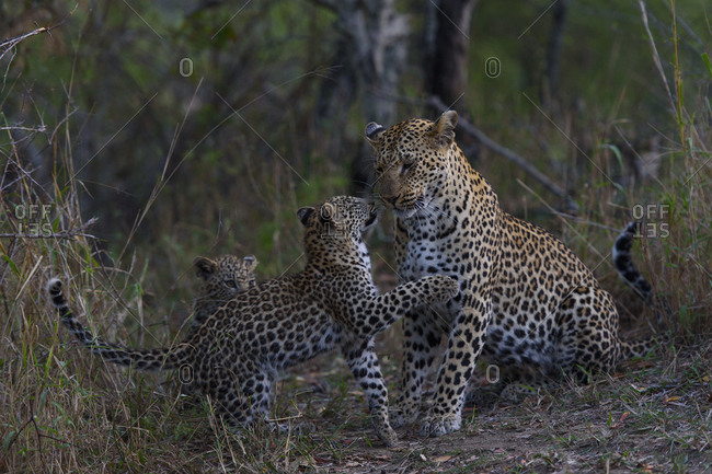 Leopard (Panthera pardus) playing wither her cubs, Londolozi Private Game Reserve, Sabi Sand Game Reserve, South Africa.