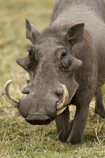 Warthog (Phaecochoerus aethiopicus) male, Masai-Mara Game Reserve, Kenya.