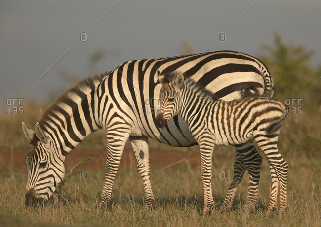 Common / Burchell's zebra (Equus quagga) mother and foal, Masai Mara, Kenya.