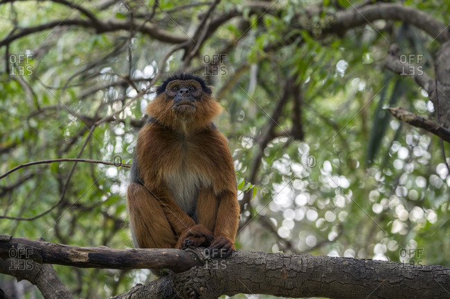 Western red colobus (Procolobus badius) adult male in a tree. Gambia, Africa. May 2016.