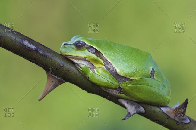 Common Tree Frog (Hyla arborea) adult resting in wild rose bush. National Park Lake Neusiedl, Austria. April.