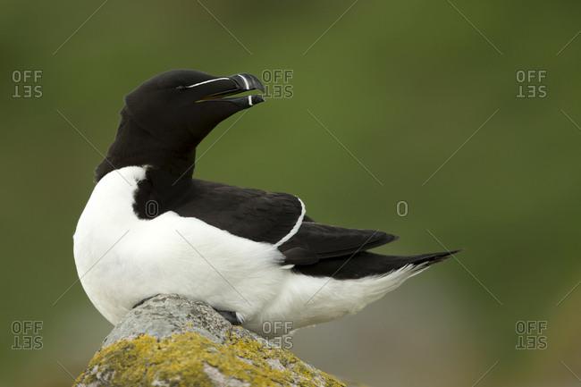 Razorbill (Alca torda) resting on rocks. Great Saltee Island, County Wexford, Ireland. April.