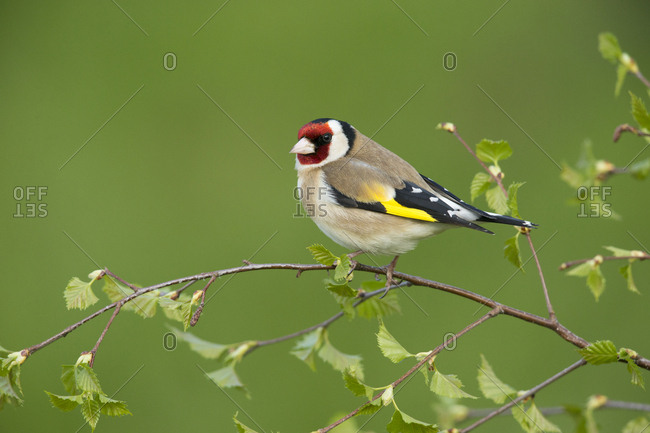 Goldfinch (Carduelis carduelis) perched on silver birch branch. Scotland, UK. May.