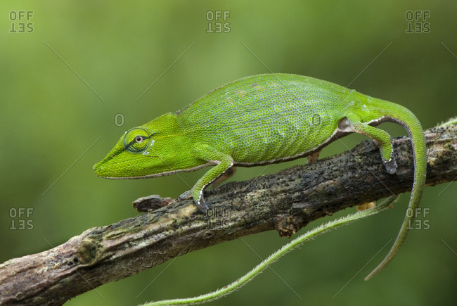 Short-nosed Chameleon (Calumma gastrotaenia) on branch, Madagascar, Africa.