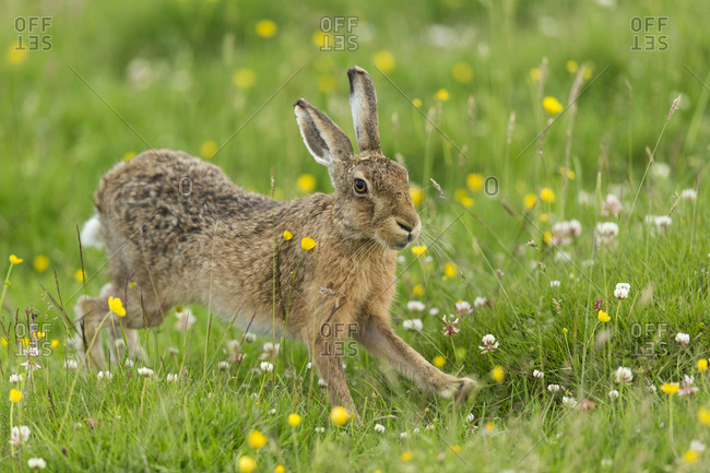 Brown Hare (Lepus europaeus) adult stretching, in summer meadow. Scotland, UK. June.