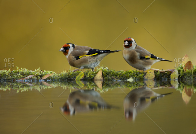 Goldfinch (Carduelis carduelis) reflected in pool, Worcestershire. November