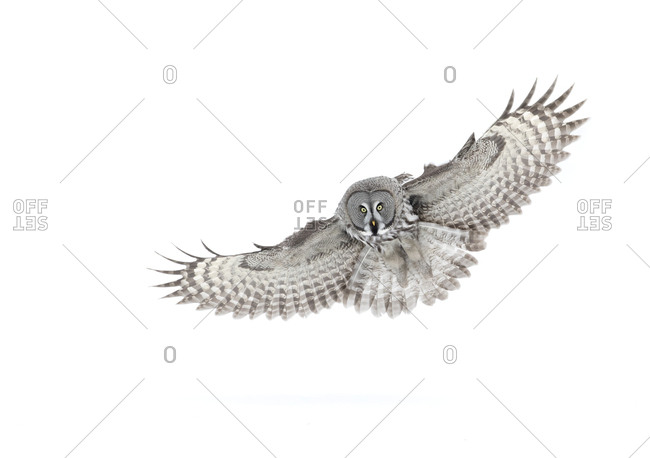 Great grey owl (Strix nebulosa) in flight, Finland, March.