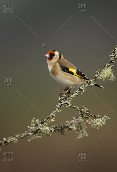 Goldfinch (Carduelis carduelis) perched on branch. Worcestershire, UK. February .