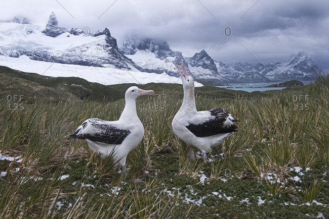 Wandering albatross (Diomeda exulans) pair in courtship at Trollheim, South Georgia. January 2015.