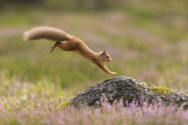 Red Squirrel (Sciurus vulgaris) adult in summer coat leaping onto fallen log. Scotland, UK. September.